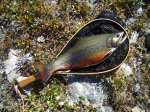 Brook Trout - Photo